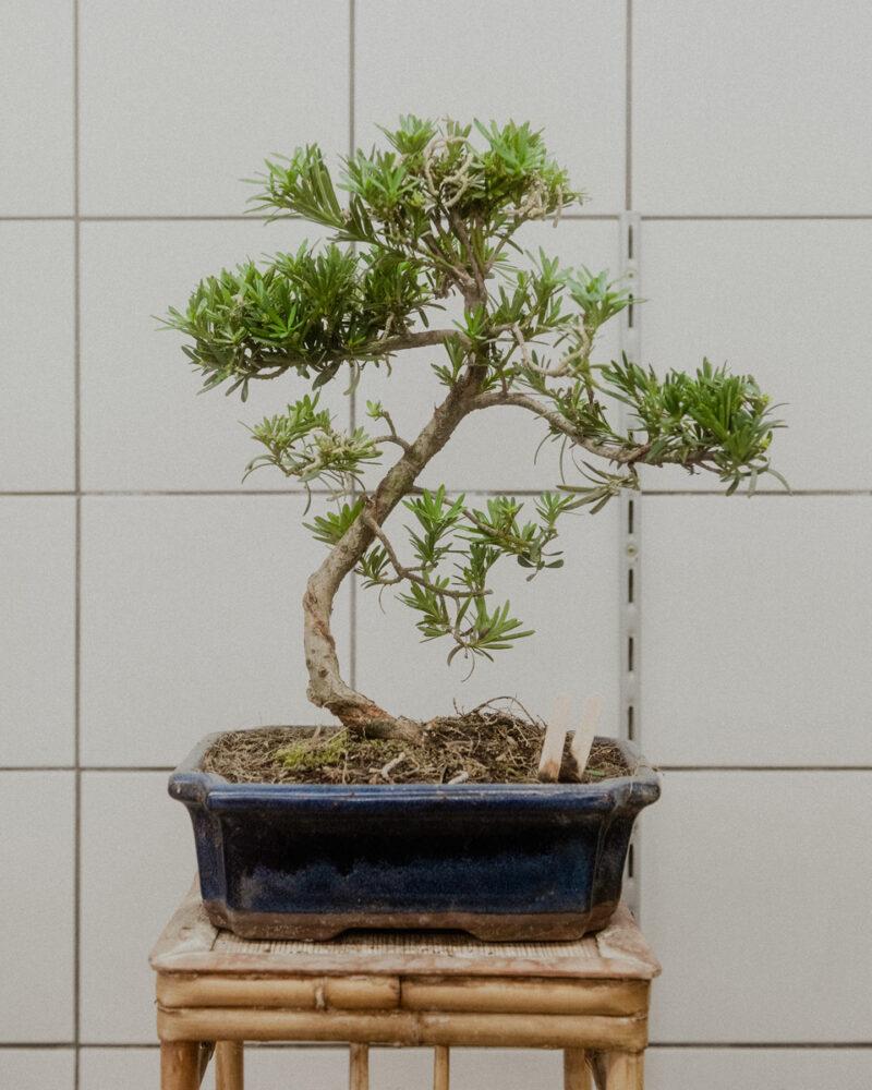 Geschäft »Japan Bonsai«mit Inhaber Todd Grand, Berlin Kantstraße